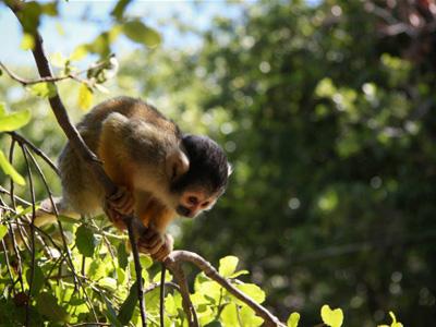 יער הקופים